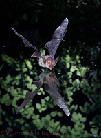 Long-eared Bat drinking