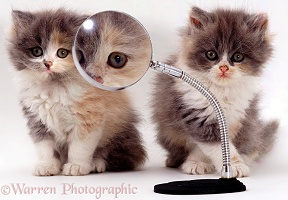 Kittens & magnifying glass