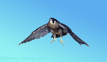 Peregrine taking off