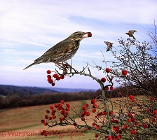 Redwings eating Hawthorn berries
