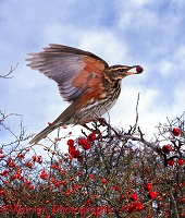 Redwing eating Hawthorn berries
