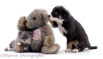 Kitten, Border Collie puppy, and Teddy bear