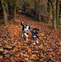 Puppies running through maple leaves