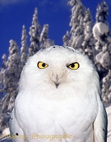 Snowy Owl in Manning Park