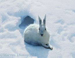 Arctic Hare in snow