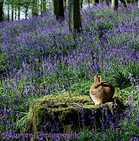 Rabbit in Bluebell woods