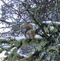 Grey Squirrel on a snowy branch
