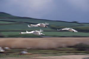 Mute Swans in flight