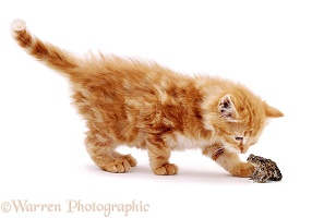 Kitten inspecting a Toad