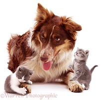 Red tricolour Border Collie and kittens