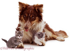 Red Border Collie and kittens