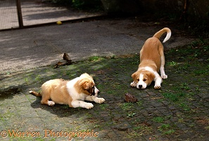 Border Collie pups playing with toad