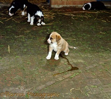 Border Collie puppy making a puddle