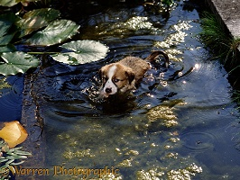Border Collie puppy in pond