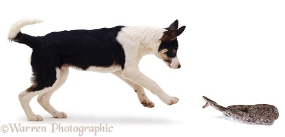 Puppy & striking Rat Snake
