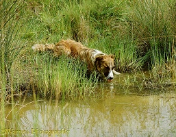 Border Collie dog drinking from a pond