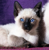 Blue-eyed Siamese kitten