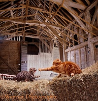 Barn cats fighting