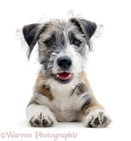 Cheeky Jack Russell Terrier cross pup