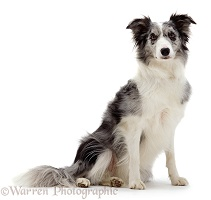 Blue Merle Border Collie bitch