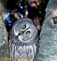 Grey owl in birch tree fork