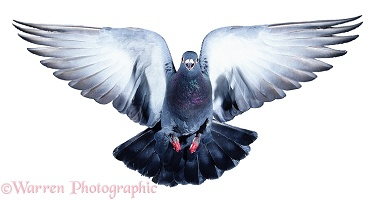 Feral Pigeon taking off