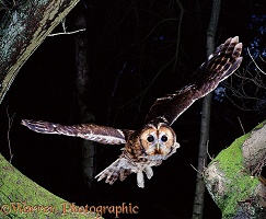 Tawny Owl flying from Chestnut tree