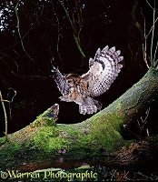 Tawny Owl alighting on fallen Ash