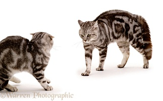 Aggressive silver tabby cat