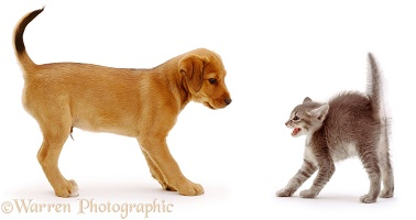 Friendly puppy scaring a kitten