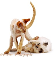 Siamese and Rex cats play-fighting