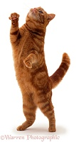 Ginger cat reaching up