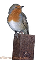 Robin on a steel post