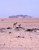 Springbok in desert scene with mirage