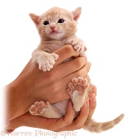 Polydactyl kitten in hands
