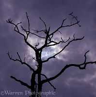 Partial eclipse behind dead oak tree