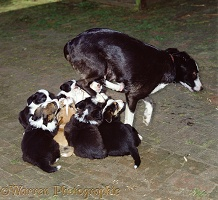 Border Collie leaping off suckling pups
