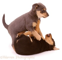 Terrier-cross pups play-fighting