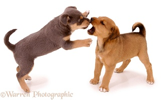 Puppies scrapping