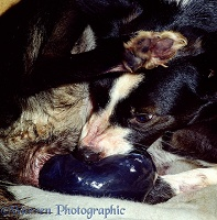 Border Collie giving birth