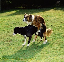 Border Collies mating
