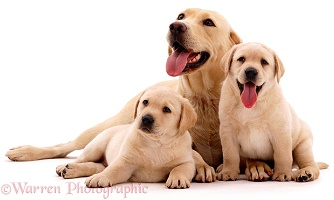 Yellow Labrador mother & pups