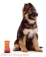 Alsatian puppy and toy boot