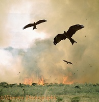Kites in African bush fire