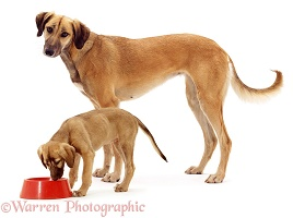 Saluki Lurcher as puppy and full-grown