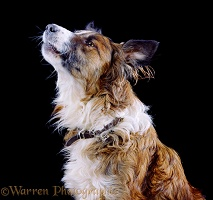 Border Collie dog howling