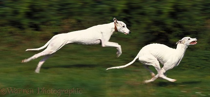 Pair of Greyhounds running