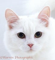 White cat with tattoo