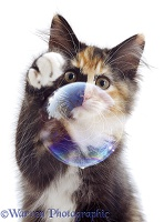 Tortoiseshell kitten pawing a bubble
