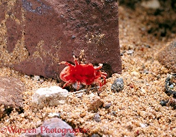 Giant Red Mite